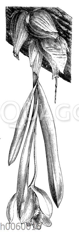 Cattleya citrina