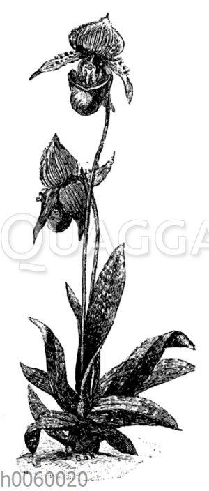 Cypripedium barbatum