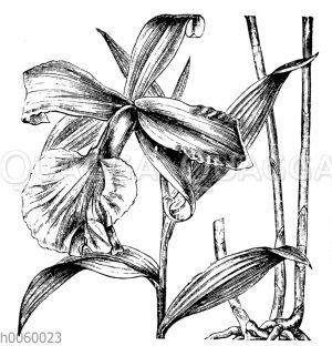 Sobralia macrantha
