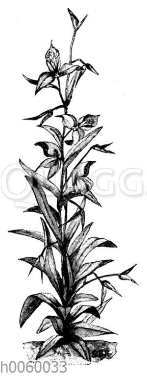 Disa grandiflora