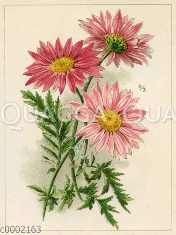 Rotblütige Wucherblume