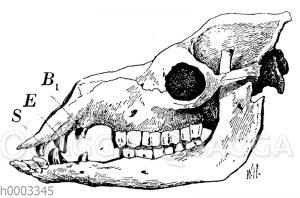 Dromedar oder Einhöckriges Kamel: Schädel