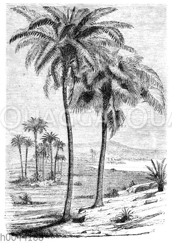 Palmen der Kreidezeit