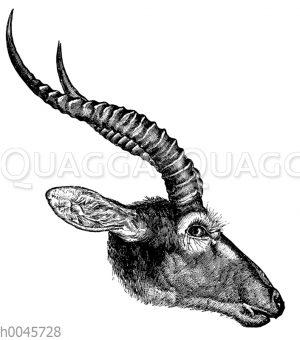 Kalabock (Kobus leucotis)