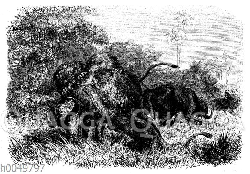 Kampf zwischen Büffel und Löwen