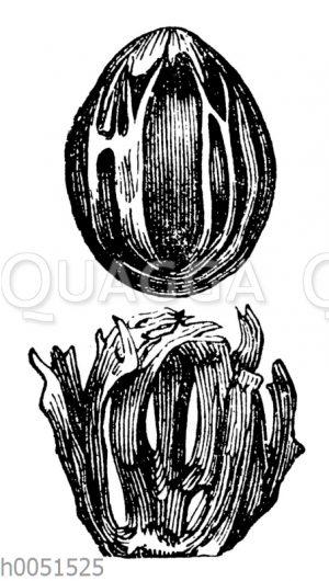 Muskatnuss und Macisblüte