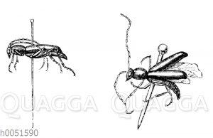 Aufgespießte Insekten