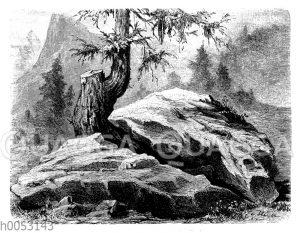 Lärchenwurzel spaltet einen Stein