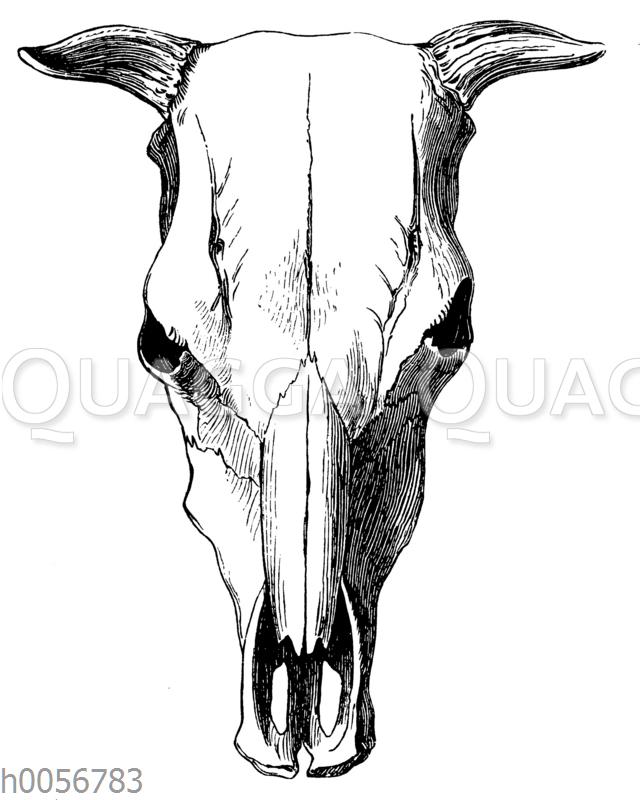 Schädel einer Auerochsen-Kuh