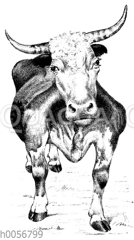 Abblatten beim Rind