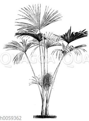 Carludovica palmata