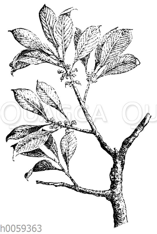Guttapercha-Baum