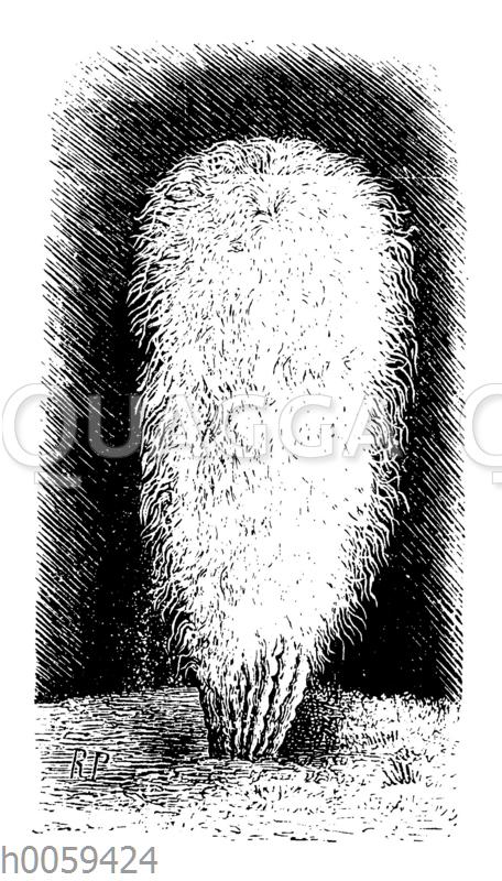 Pilocereus senilis