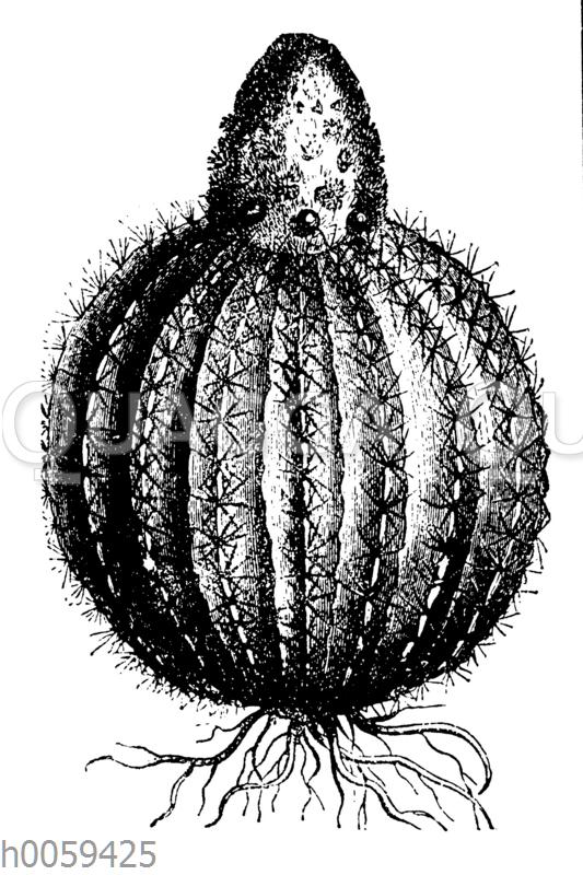 Melocactus communis