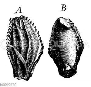 Iguanodon Mantelli: Zähne