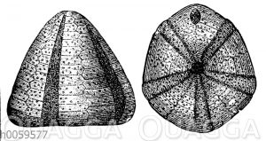 Galerites albogalerus