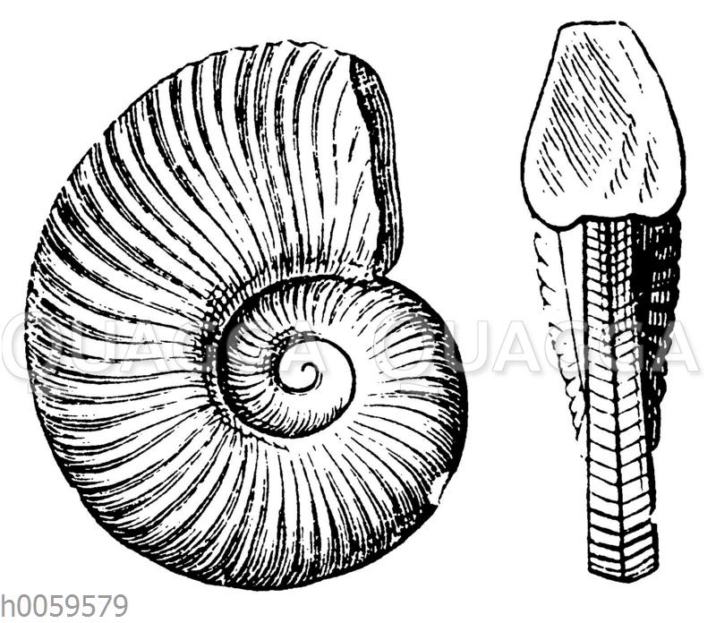 Ammonites noricus
