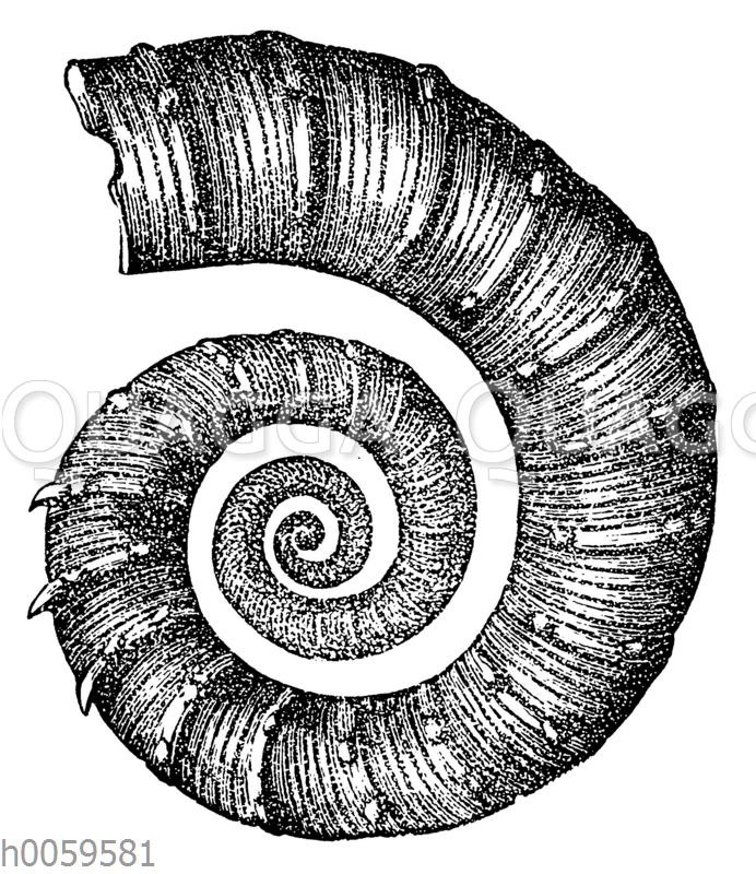 Crioceras Duvali