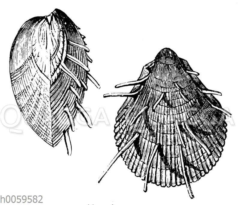 Spondylus spinosus
