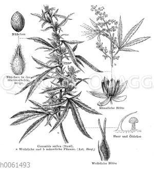 Hanf. a Weibliche und b männliche Pflanze