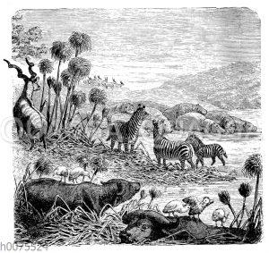 Papyrus am afrikanischen Flussufer mit Büffeln