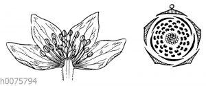 Buschwindröschen und Blütendiagramm der Hahnenfußgewächse
