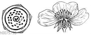 Rose: Blüte und Blütendiagramm
