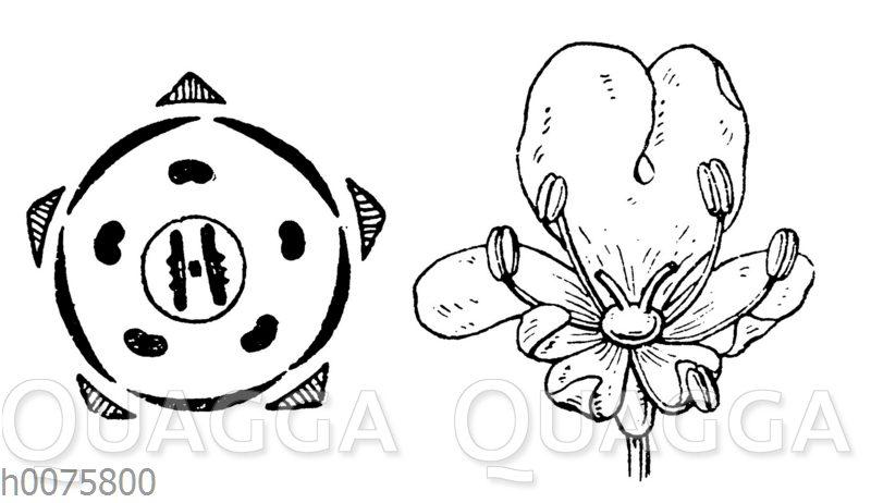 Möhre: Blüte und Blütendiagramm des Kümmels als Beispiel für die Apiaceen