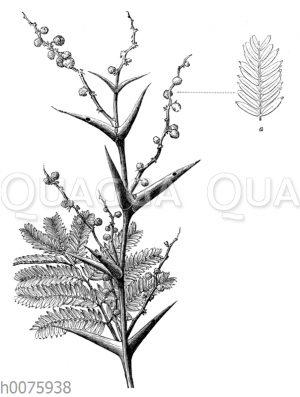 Vachellia sphaerocephala oder Acacia sphaerocephala_ a Blattstück mit Drüsen