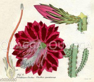 Disocactus speciosus