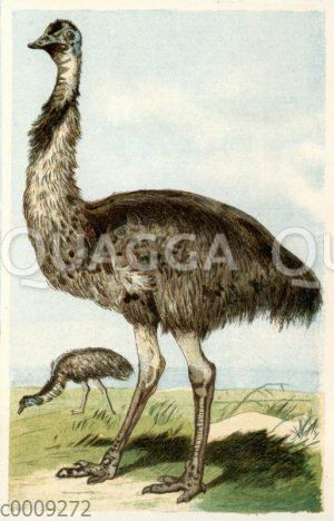 Emus - Dromaiidae