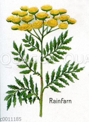 Rainfarn
