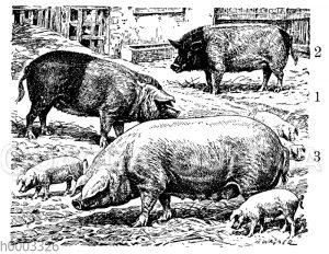 Hausschwein: Schweinerassen