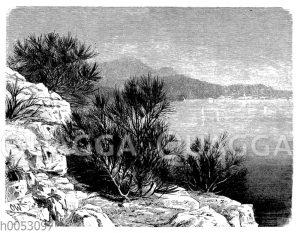 Besenstrauch bei Rovigno in Istrien