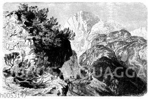 Legföhren im Tiroler Hochgebirge