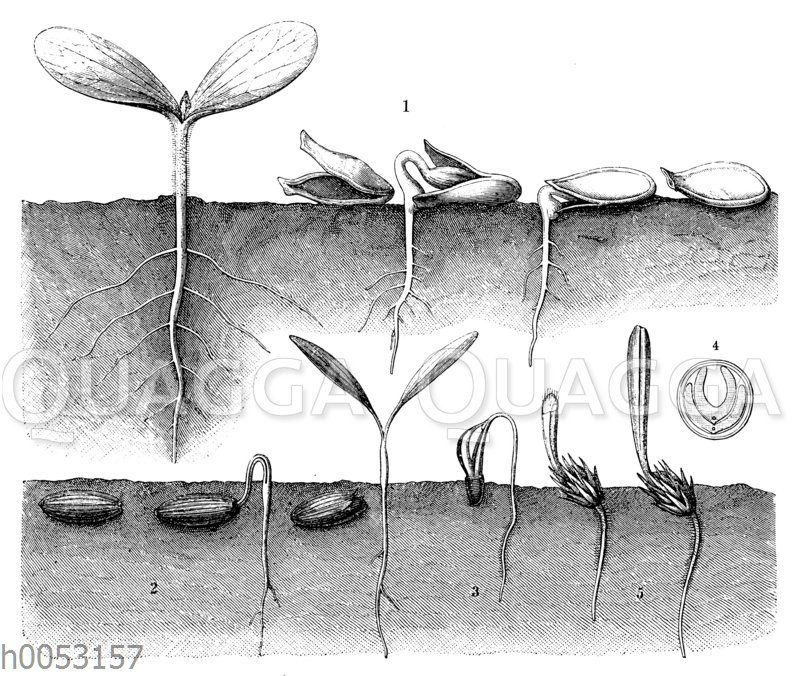 Entwicklung der Keimblätter bei Kürbis