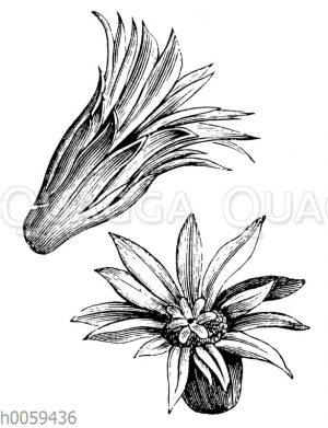 Mammilaria applanata: Blüte