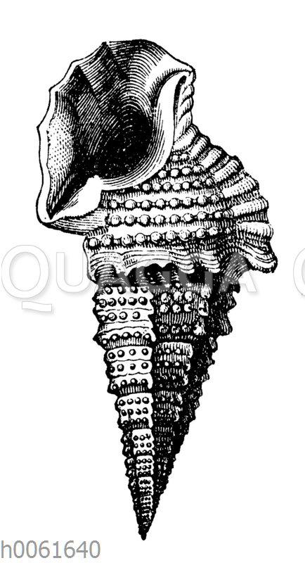 Cerithium hexagonum