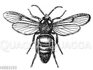 Bienenschwärmer
