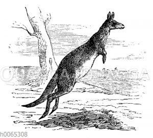 Känguruh im Sprung
