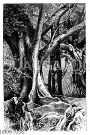 Gummibaum und Banianenbaum