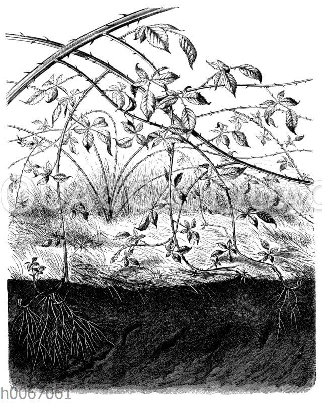 Brombeerstrauch mit einwurzelnden Zweigspitzen