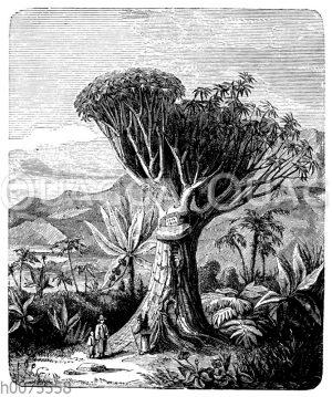 Drachenbaum von Orotava auf Teneriffa