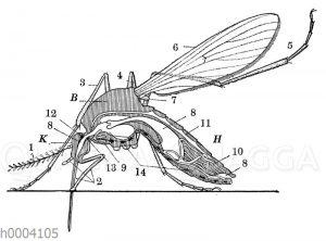 Stechmücke: Längsschnitt durch den Körper