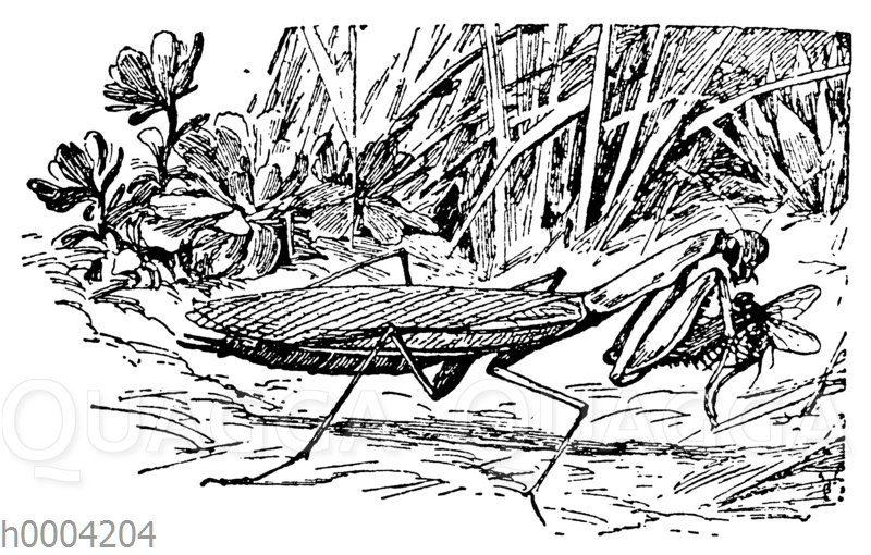 Gottesanbeterin mit einer erbeuteten Fliege