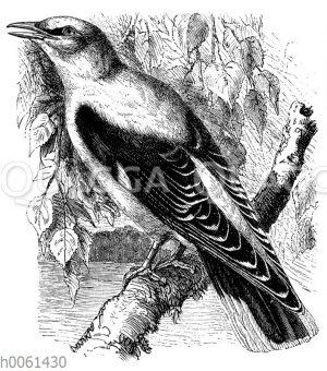 Pirol (Oriolus galbula)