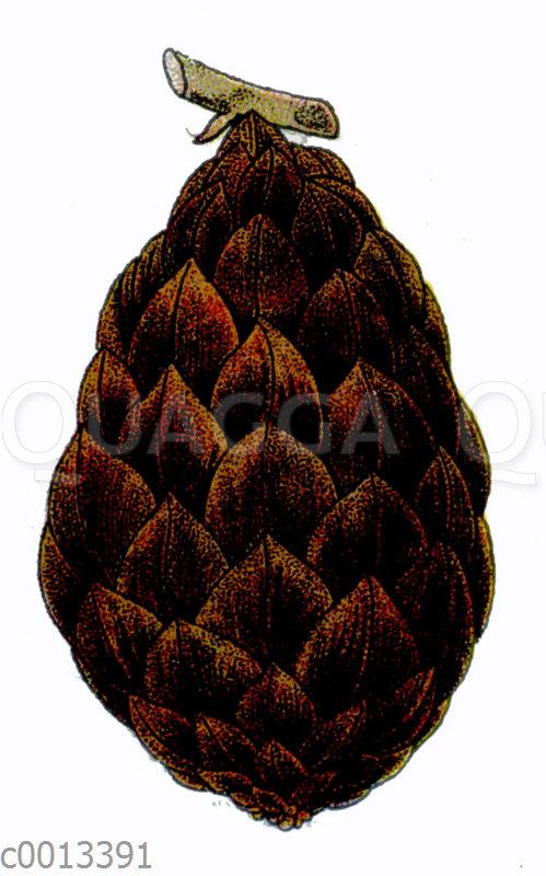 Echte Sagopalme: Frucht