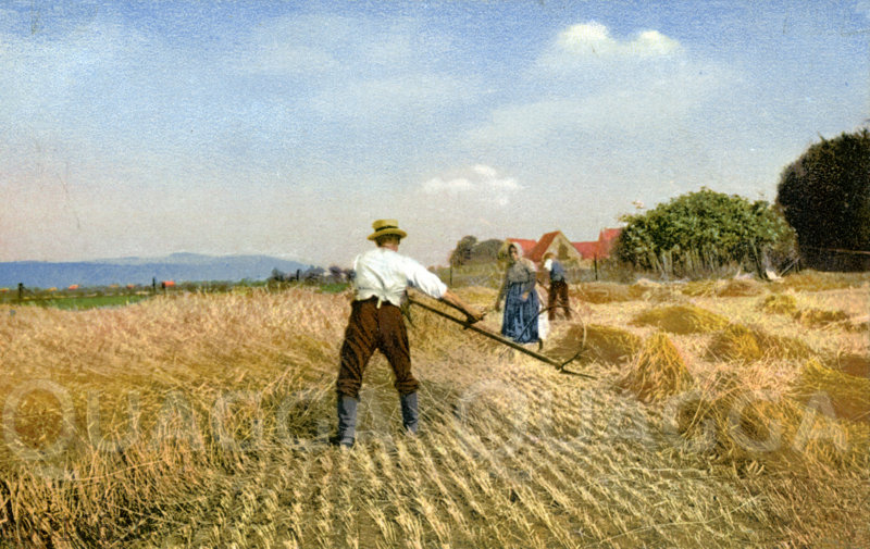 Getreideernte: Mähen des Getreides mit der Sense