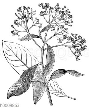 Pimentbaum