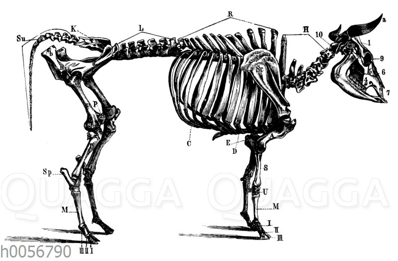 Skelett des Rindes